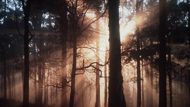 Morning sun cuts through the mist in the Dandenong Ranges National Park, where Penelope Pratt's body was dumped.