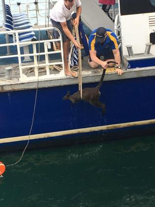 Wallaby rescued from Sydney Harbour