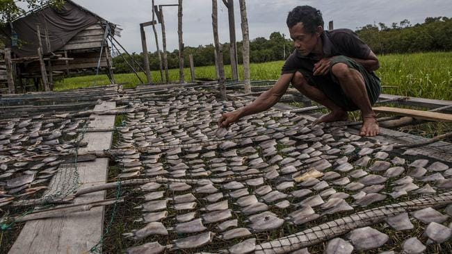 Eating the planet ... a fisherman drying salted fish at Kerumutan protected tropical rainforest, which is the Sumatran tiger habitat in Sumatra, Indonesia. Indonesia lost 840,000 hectares of natural forest in 2012 compared to 460,000 hectares in Brazil.