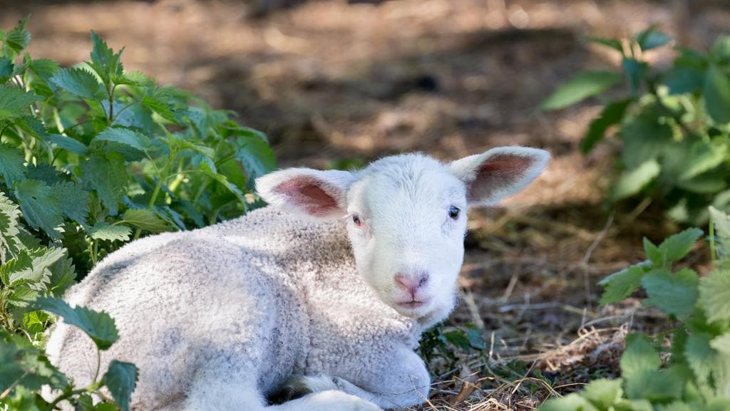 Livestock Sa Backs Change To Lamb Definition As Proposed By Sheep