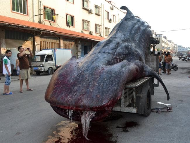 The dead whale shark is carried on a tractor in a seafood wholesale market in the Xiangzhi township in Quanzhou, east China's Fujian province.
