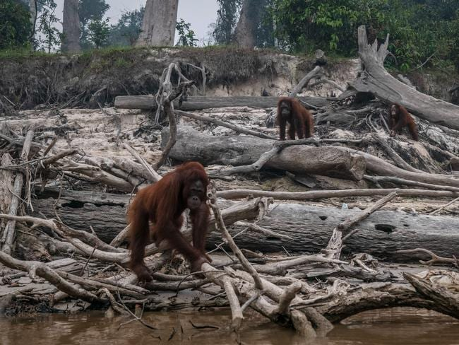Borneo orangutans forage through dead trees as haze from the forest fires blanket the area at Marang. (Photo by Ulet Ifansasti/Getty Images)