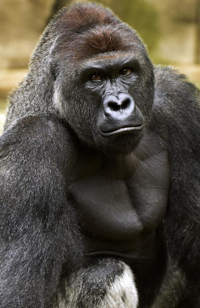 Harambe, a western lowland gorilla, was fatally shot at the Cincinnati Zoo and Botanical Garden. Picture: Jeff McCurry/Cincinnati Zoo and Botanical Garden via The Cincinatti Enquirer via AP