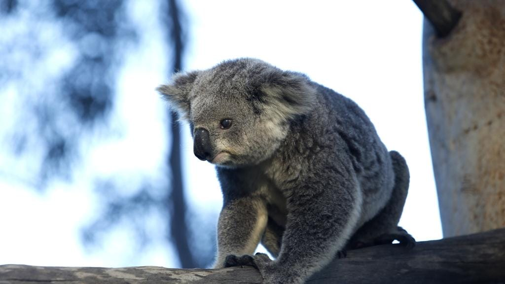 Koala, named Princess, pictured at Wedderburn earlier this year. Picture: Robert Pozo