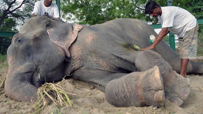 The marks are clear on Raju's ankles from where he was chained. Credit: Press People/Wildlife SOS
