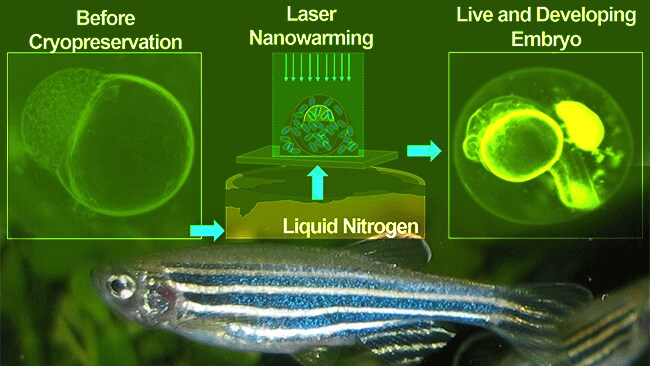 US researchers have successfully reanimated zebra fish embryos after 'deep freezing' them in a cryogenic suspension process. Source: ACS Nano