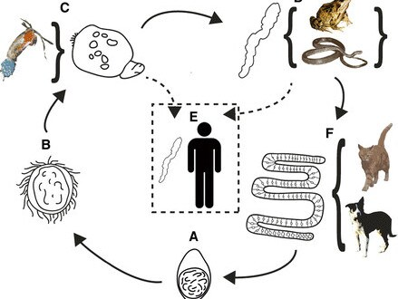Life cycle of the Spirometra tapeworm common in reptiles, including geckos, that can enter the human system.