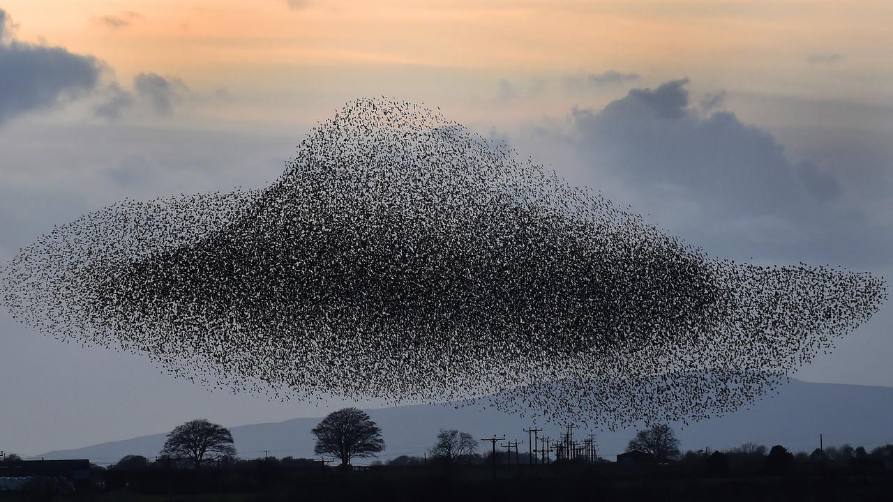 A murmuration of starlings put on a display near the town of Gretna, Scotland, UK. The starlings visit the area twice a year in the months of February and November. Picture: AP