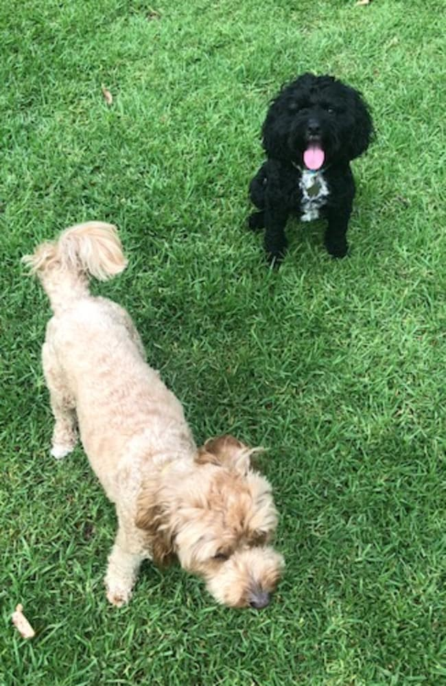 The two reasons I've changed my mind about dogs - Goldie (left) and Mabel (right). Picture: Supplied