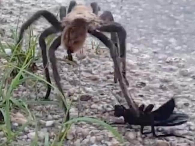 The tarantula was captured on camera struggling to defend itself against a creature half its size. Picture: Caters