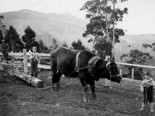 John Gray, far left, and two of his boys with a bullock on the family property at Fern Tree.