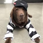 "Halle, the 11-year-old labrador retriever of Torquay, is a big Collingwood fan who loves to get dressed up on game days ... she definitely doesn't find it ""dog humiliation"" in any way!"