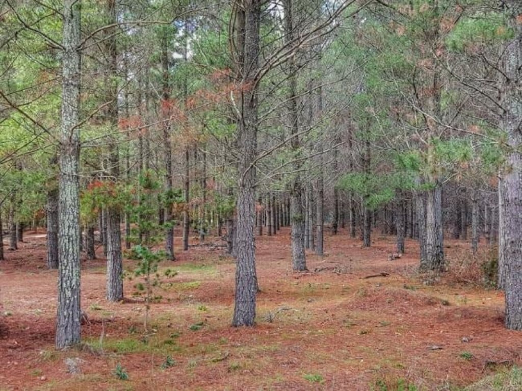 Fairburn Pine Plantation near where Keren Rowland's remains were found in May 1971.