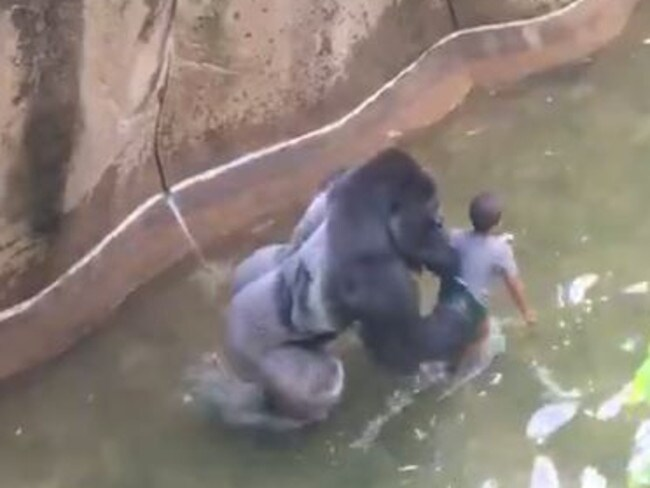 Witnesses said it looked like 17-year-old Harambe was trying to protect the four-year-old boy. Picture: Supplied