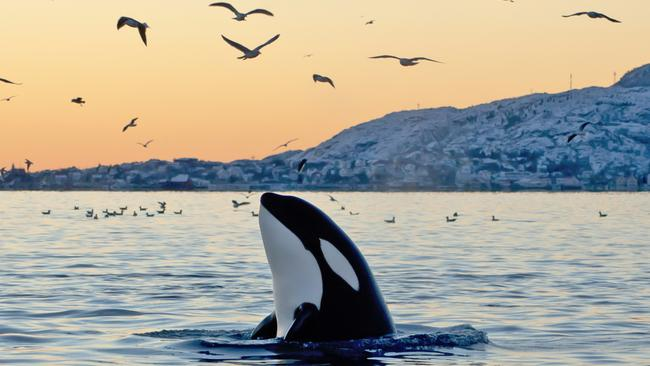 Kayak with orcas in Canada from the best seat in the house.