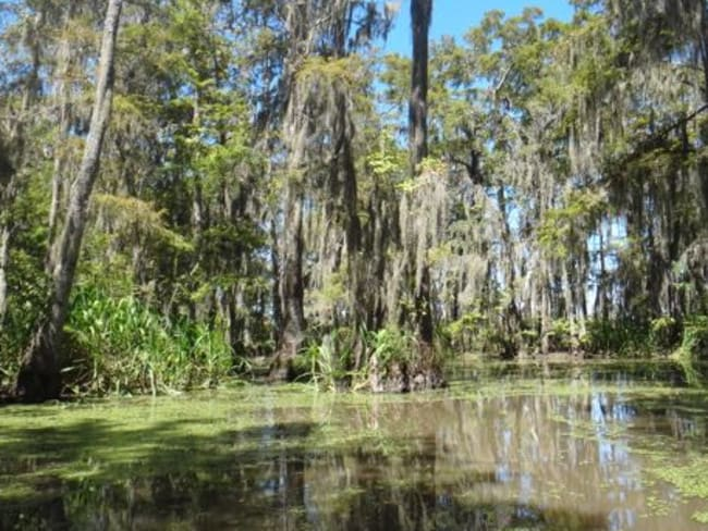 Louisiana's swamps are incredibly beautiful, but full of dangerous beasts. Picture: Jane Canaway