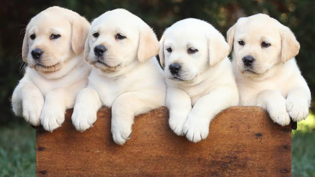 Dog Colour Labradors Life Expectancy And Disease Risk Linked To Colour