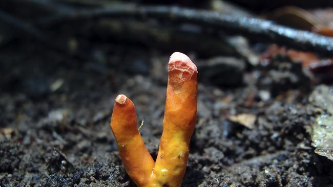 Experts have warned people not to touch or eat the fungus if found. Picture: Ray Palmer/ James Cook University/AFP
