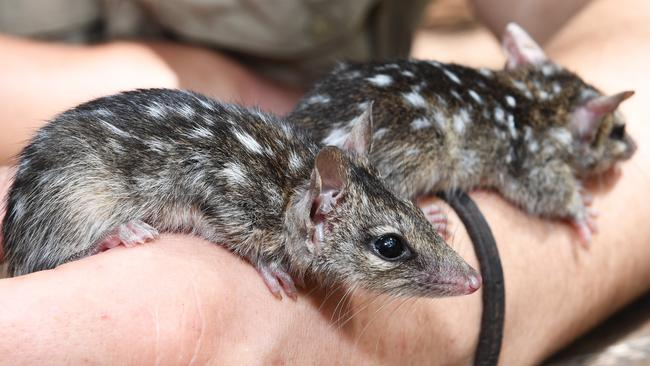 Zookeeper Tray Trayhern cuddles the 15-week-old baby quolls 'Aquila' and 'Khaleesi' who are part of the Territory Wildlife Park's breeding program. Picture: Katrina Bridgeford.
