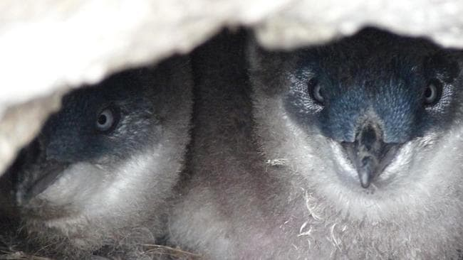 Little penguins's burrows are their 'safe places'. Picture: Kingborough Council