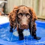 George the Murray River Retriever playing in the pool. Photo Jake Randall.