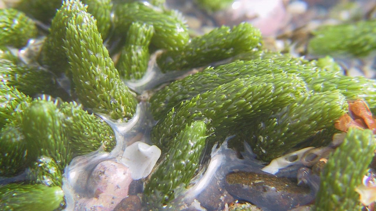 These are sea cucumbers that look like the familiar cucumber fruit or vegetable. They are at Phillip Island Nature Park in Victoria.