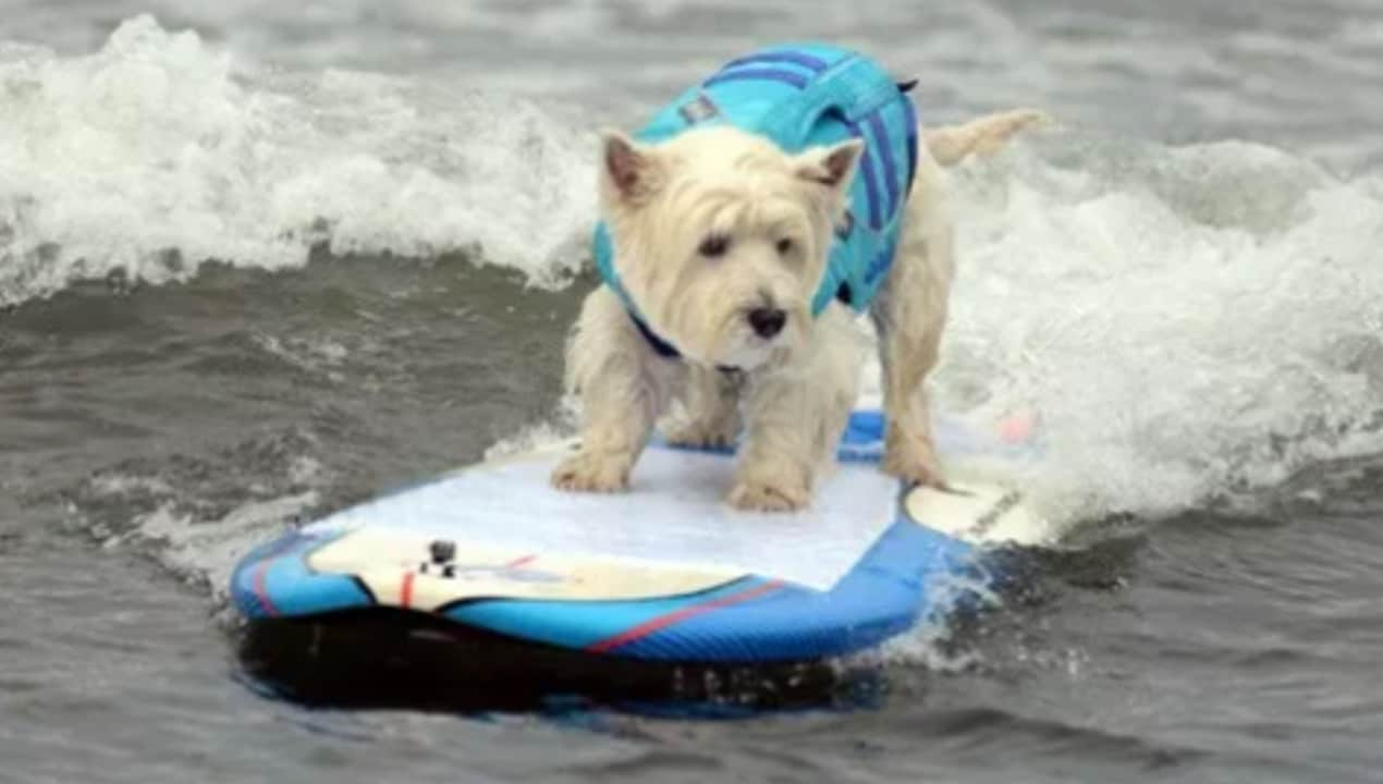 'Surfs pup' for annual World Dog Surfing contest