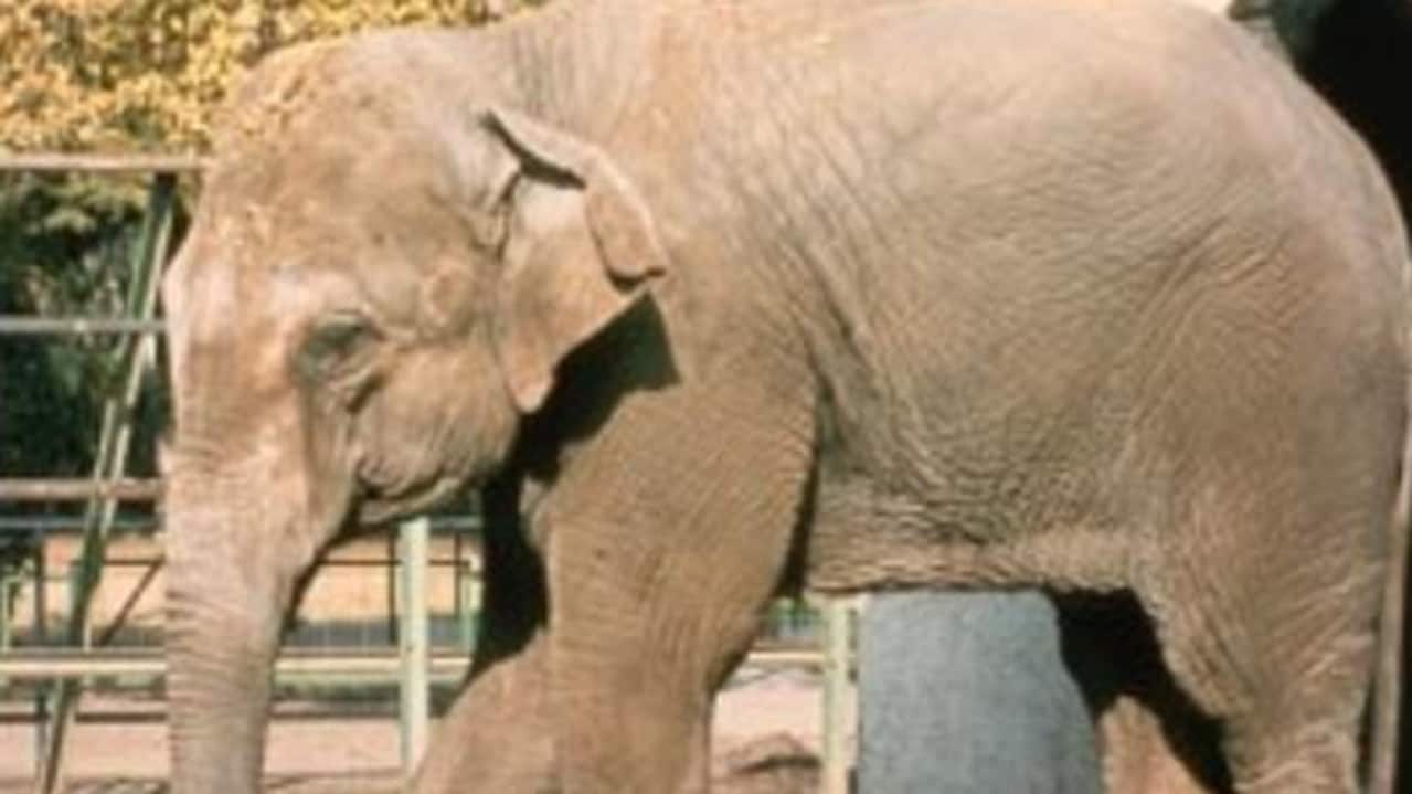 Flavia the elephant. Picture: Facebook/Zoo de Cordoba
