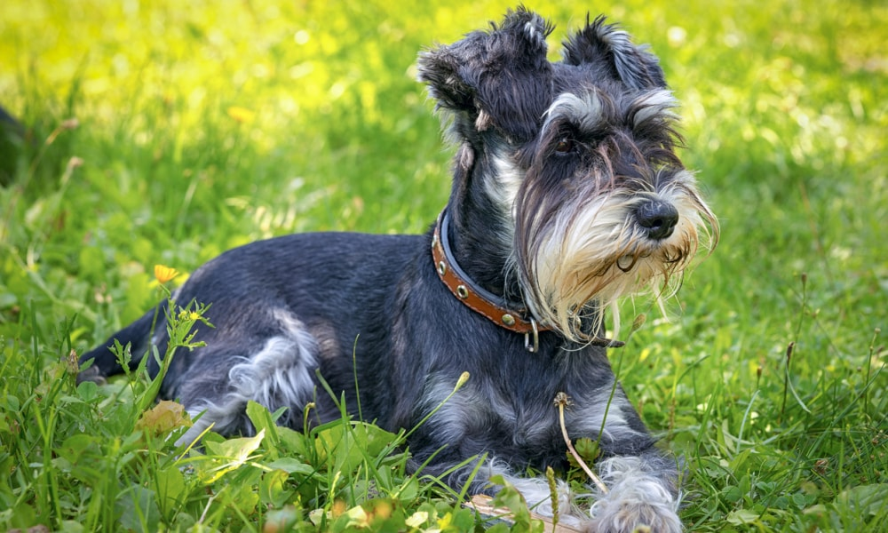 black and silver miniature schnauzer lying on the grass