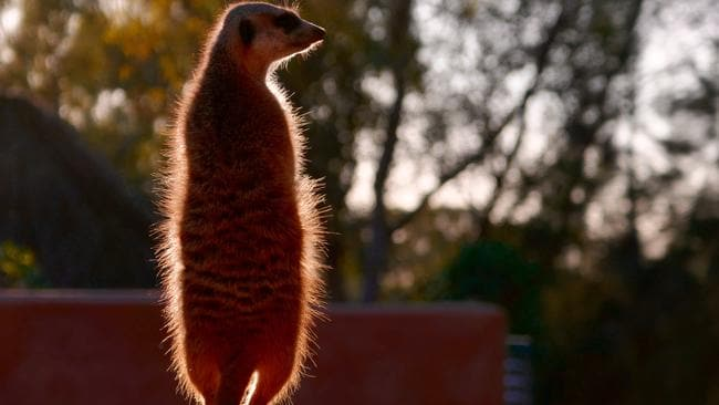Let there be light ... Taken with Panasonic DMC-TZ110 compact travel camera, a meerkat on dawn patrol at Dubbo zoo. Picture: Rod Chester