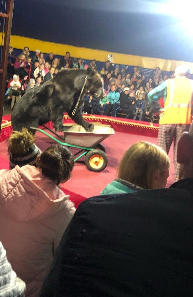 The bear turned on the trainer during the show. Picture: East 2 West/Australscope