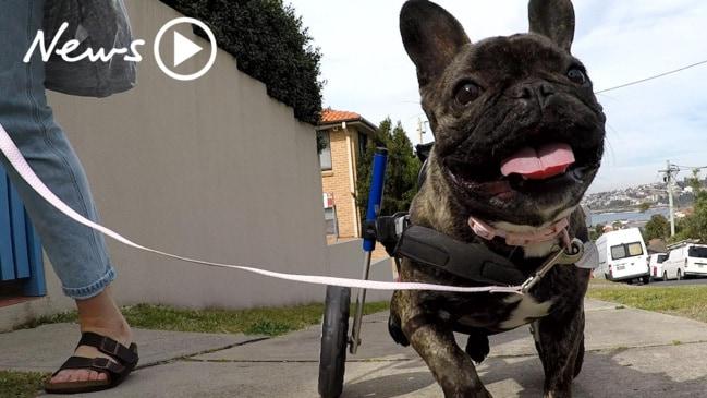 Zelda the wheelchair French Bulldog!