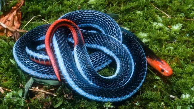 Paralysis Inducing Venom Of Freakish Long Glanded Blue Coral Snake Could Provide The Next Wonder Drug