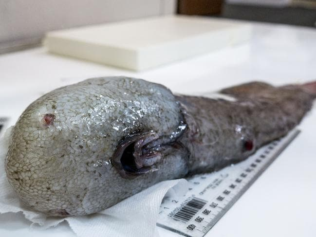 Aussie scientists caught this strange-looking faceless fish last year. Picture: Asher Flatt/Marine National Facility