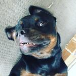 Odin the crazy rotweiler lives a belly rub Picture: Justine