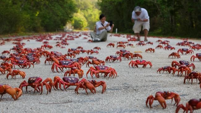 Christmas Island Red Crab.Google S Christmas Island Crabs Kidsnews