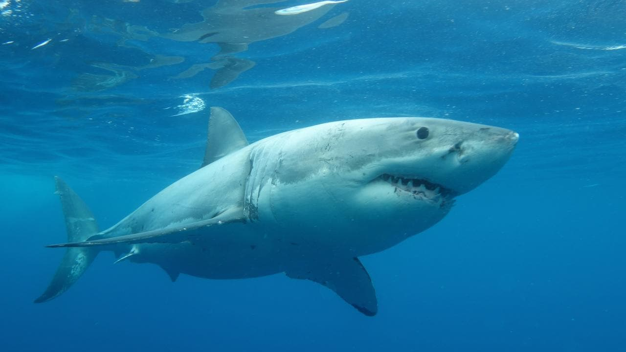 A new study shows the more people dive with Great Whites sharks the more likely they are to want to protect them. Picture: Calypso Star Charters