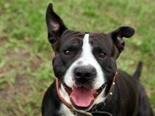Qantas Backs Down On Controversial American Staffordshire Terrier Ban