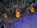 Wildlife Photographer of the Year: The world-renowned exhibition opens on 20 October at the Natural History Museum in London, which runs the annual competition. The insiders Qing Lin, China Finalist 2017, Under Water The bulbous tips of the aptly named magnificent anemone's tentacles contain cells that sting most fish. But the clown anemonefish goes unharmed thanks to mucus secreted over its skin, which tricks the anemone into thinking it is brushing against itself. Both species benefit. The anemonefish gains protection from its predators, which daren't risk being stung, and it also feeds on parasites and debris among the tentacles; at the same time, it improves water circulation (fanning its fins as it swims), scares away the anemone's predators and may even lure in prey for it. While diving in the Lembeh Strait in North Sulawesi, Indonesia, Qing noticed something strange about this particular cohabiting group. Each anemonefish had an extra pair of eyes inside its mouth – those of a parasitic isopod (a crustacean related to woodlice). An isopod enters a fish as a larva, via its gills, moves to the fish's mouth and attaches with its legs to the base of the tongue. As the parasite sucks its host's blood, the tongue withers, leaving the isopod attached in its place, where it may remain for several years. With great patience and a little luck – the fish darted around unpredictably – Qing captured these three rather curious individuals momentarily lined up, eyes front, mouths open and parasites peeping out.