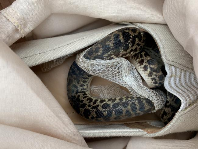 ad26f1b8e277 Snake flies from Australia to Scotland in woman s shoe