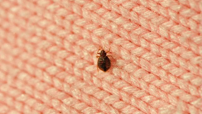 The bed bug lives off the blood of animals and humans.