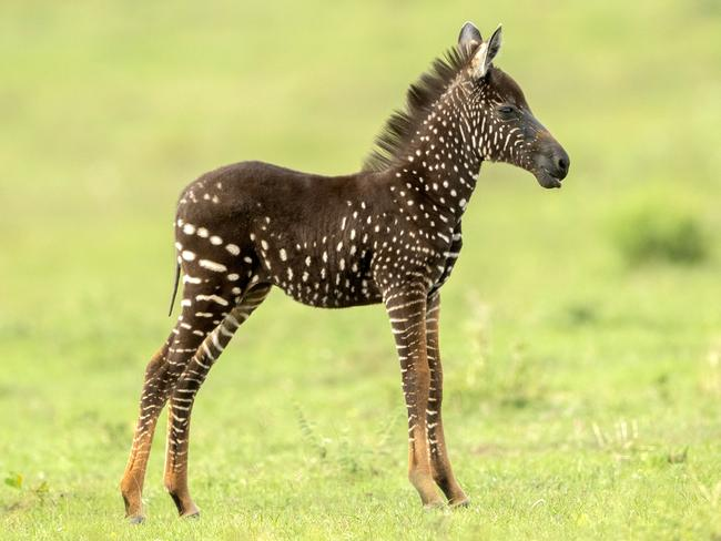 A rare spotted zebra foal has been discovered, with a unique spotted coat. Picture: Rahul Sachdev/Caters News