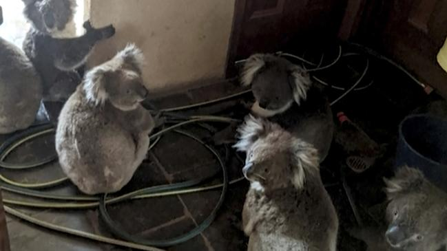 Thousands of koalas have died in the fires. These koalas were moved into a South Australian home to keep them safe from the flames. Picture: Adam Mudge via AP