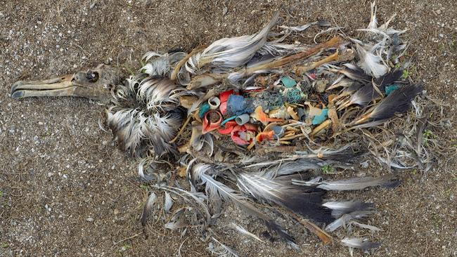 Dead Bird: On Midway Island, far from the centres of world commerce, an albatross, dead from ingesting too much plastic, decays on the beach; it is a common sight on the remote island. Pic: Chris Jordan.