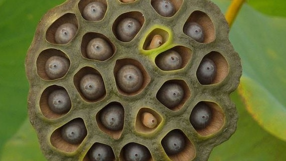 The seed pod of the lotus flower. A trypophobe's worst nightmare.