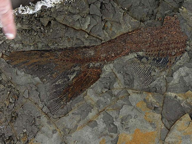 A partially exposed, perfectly preserved 66-million-year-old fish fossil uncovered by Mr DePalma and his colleagues. Picture: Robert DePalma
