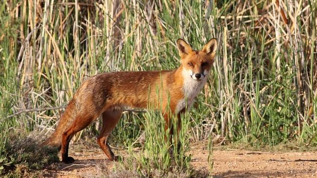 Fox numbers are out of control on the Mornington Peninsula. File photo