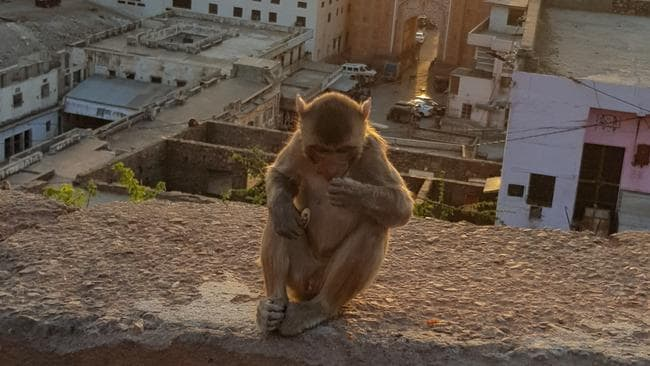 Monkeys are everywhere in India. Picture: Alexis Carey