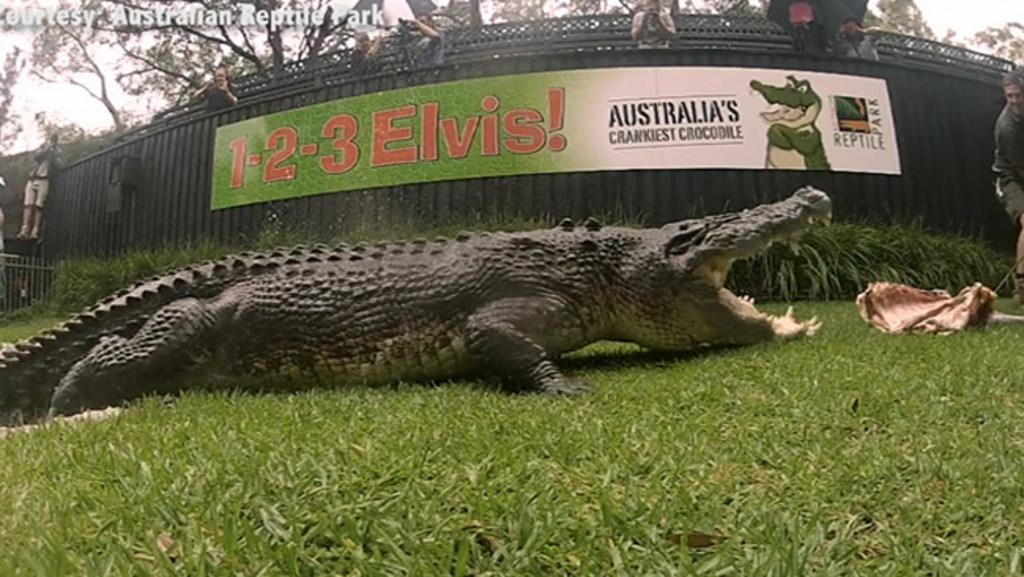 Elvis The Crocodile Devours Half A Cow Carcass To Celebrate His 50th Birthday