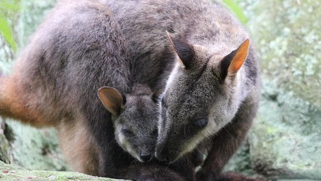 The brush-tailed rock wallaby has been classified as vulnerable. File image